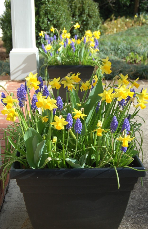 Tete-a-Tete daffodils and grape hyacinths, with tulips on the way.