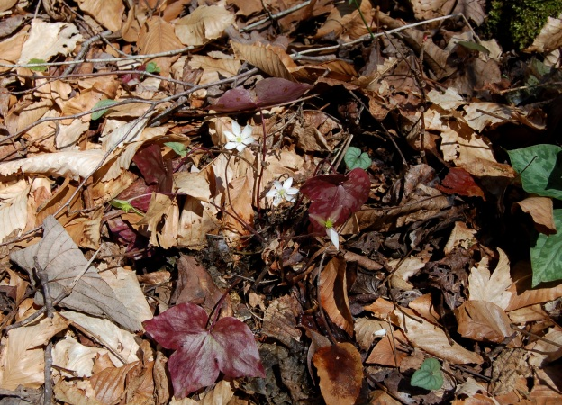 Liverleaf (Hepatica acutiloba)