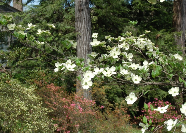 White dogwood (Cornus florida) and azaleas.