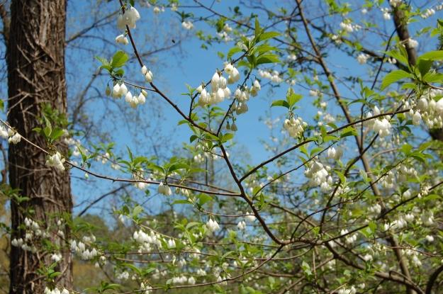 Carolina silverbell (Halesia tetraptera)