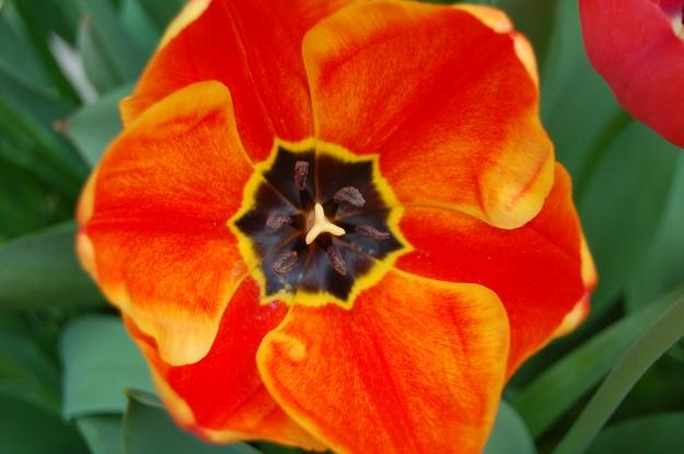 Apeldoorn Elite Tulip