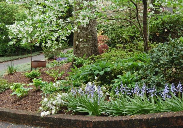 Front garden including white & pink dogwood trees, azaleas, Spanish bluebells, Lenten roses, Japanese maple, and  Chocolate Chip ajuga.
