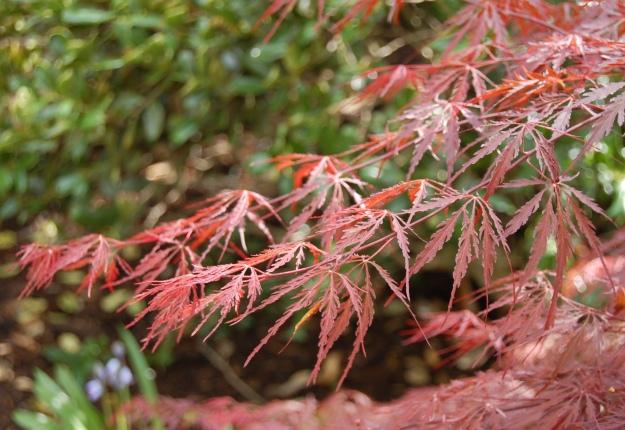 Japanese maple (Acer Palmatum 'Dissectum autopurpureum')