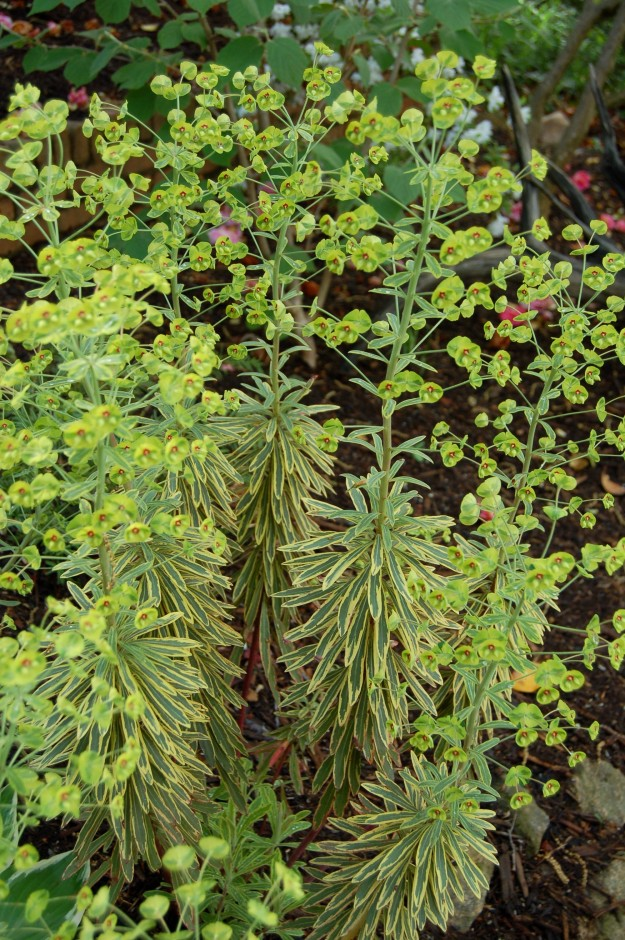 Admired yesterday for its showy bracts, here again is the popular Rainbow euphorbia (Euphorbia x martini 'Ascot Rainbow')