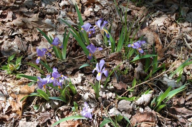 Dwarf iris (I. verna)