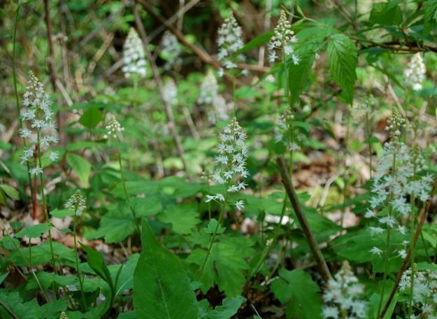 Foam flower (Tiarella cordifolia)