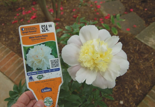 Despite its tag, this Paeonia is NOT 'Festiva Maxima'