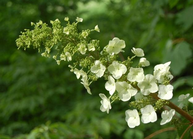 Oakleaf hydrangea (H. quercifolia)