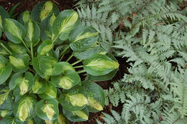 Hosta 'Warwick Comet' with Ghost fern (Athyrium 'Ghost')