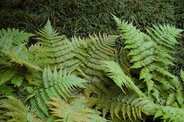 Autumn fern (Dryopteris erythrosora) with mondo grass (Ophiopogon japonicas)