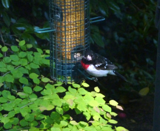 A brilliant red chevron below his black neck identifies Mr. Rose-breasted Grosbeak.
