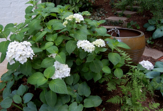 White H. macrophylla in the secret garden