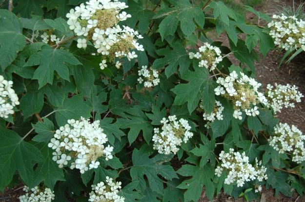 Dwarf oakleaf (H. quercifolia)