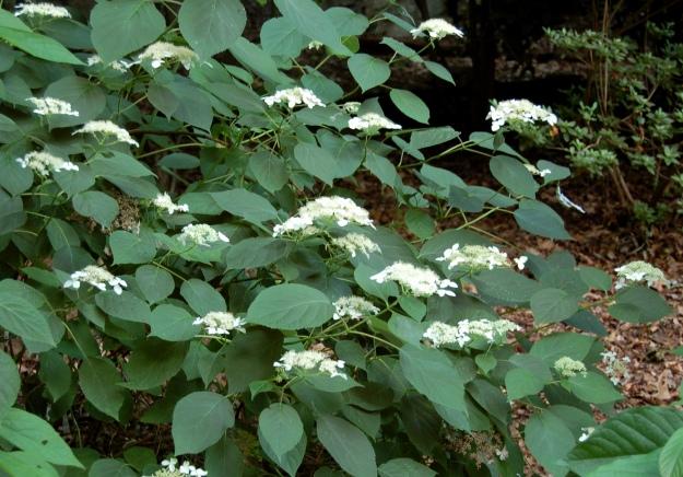 Silverleaf hydrangea (H. radiata)