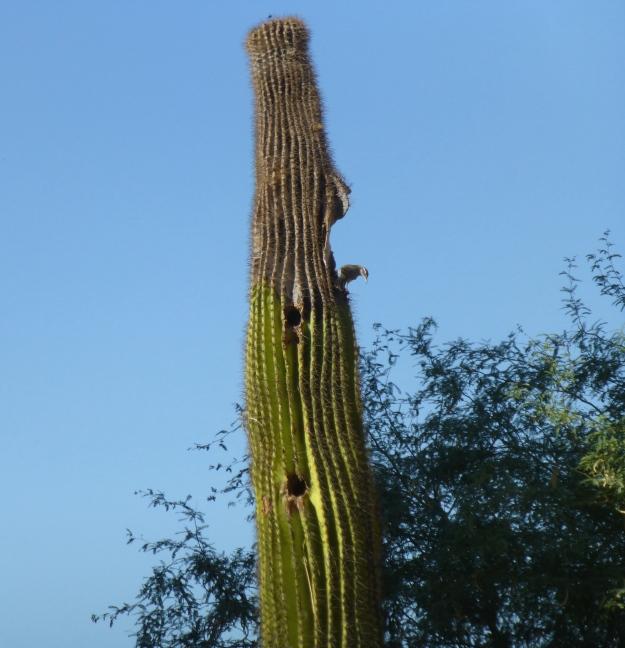 Cactus wren on Carnegiea gigantea.