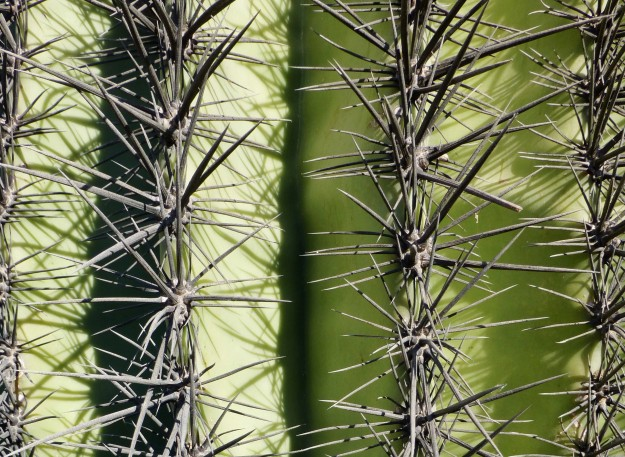 Spines of the saguaro.