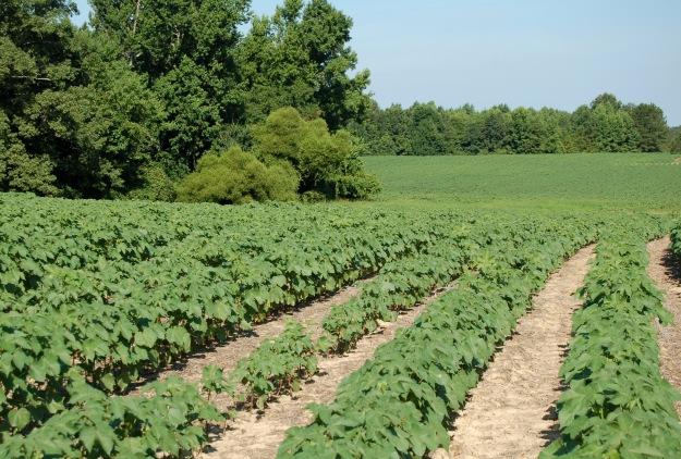 Cotton field in rural Virginia.