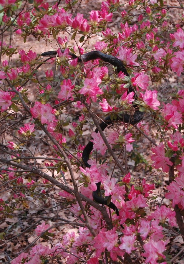 Black snake, spring 2013.