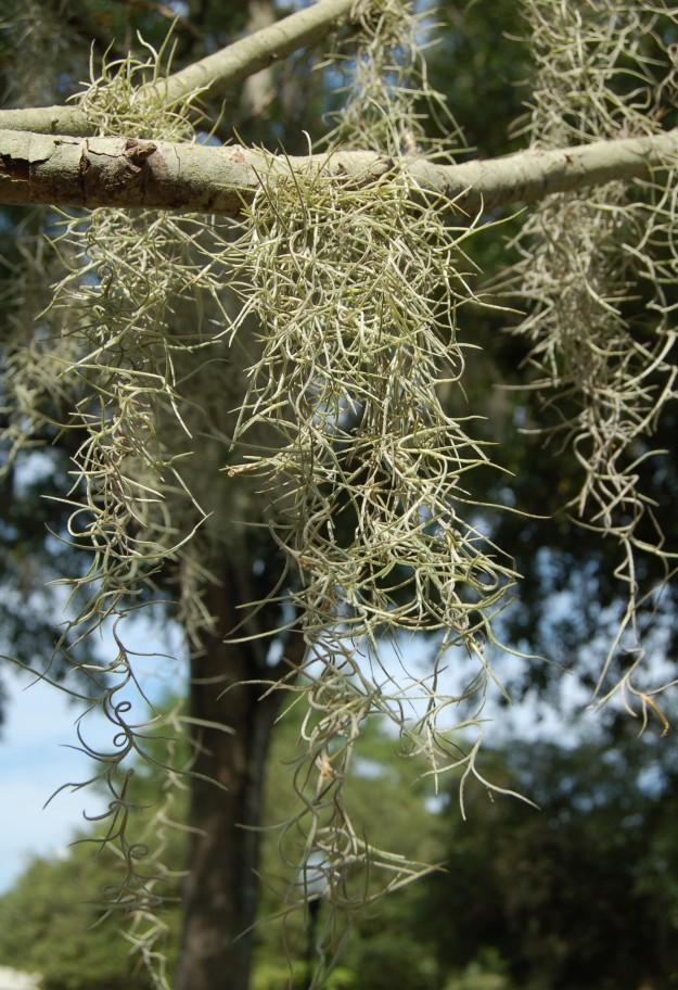 South Carolina's native epiphyte, Tillandsia usneoides.
