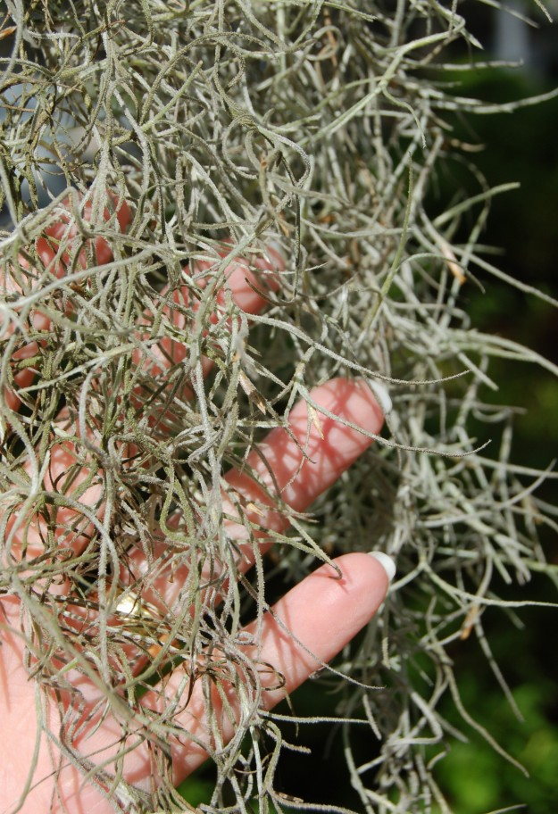 Spanish moss is not as fragile as it looks.