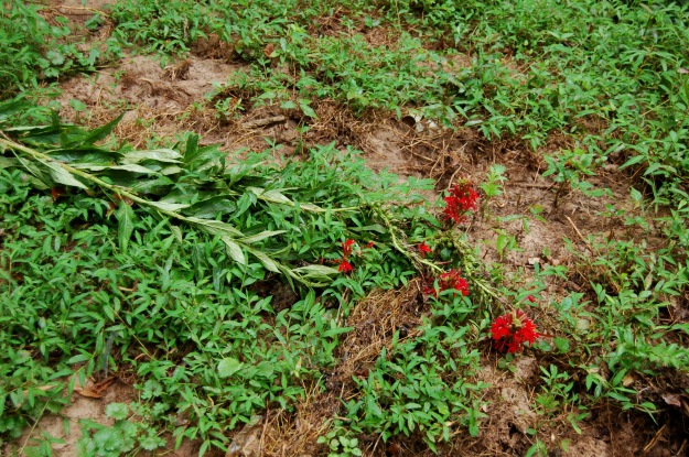 Lobelia cardinalis, nearly washed away by the recent flash flood.