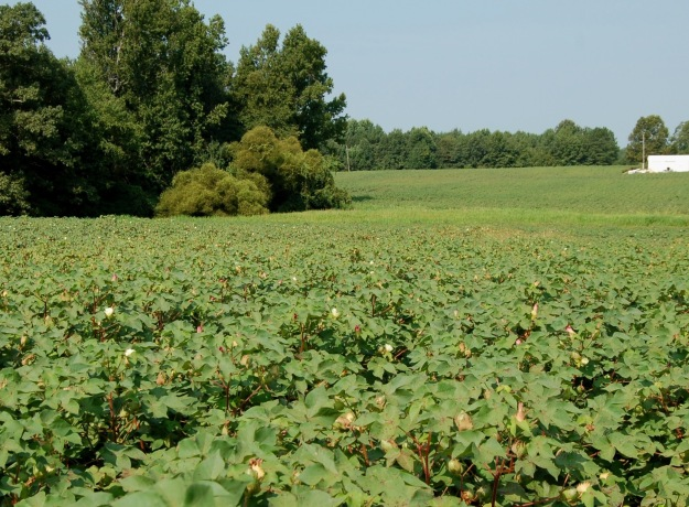 Cotton field in late August.