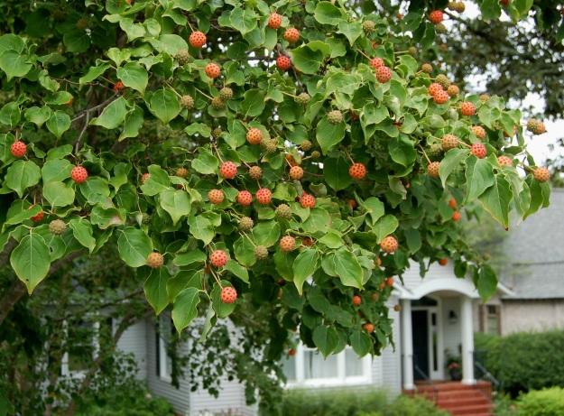 Cornus kousa with fruits.