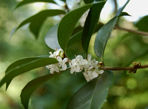 The tiny blooms of Osmanthus x fortunei have a wonderful perfume.