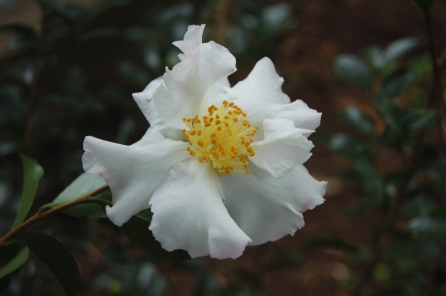 First bloom of Camellia sasanqua 'Setsugekka'.