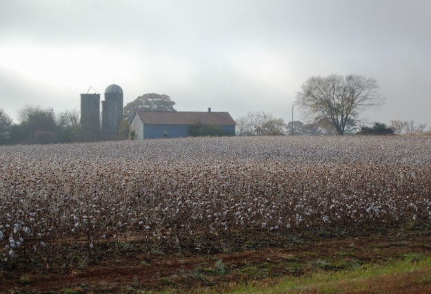 November--Field of cotton on a foggy morning.
