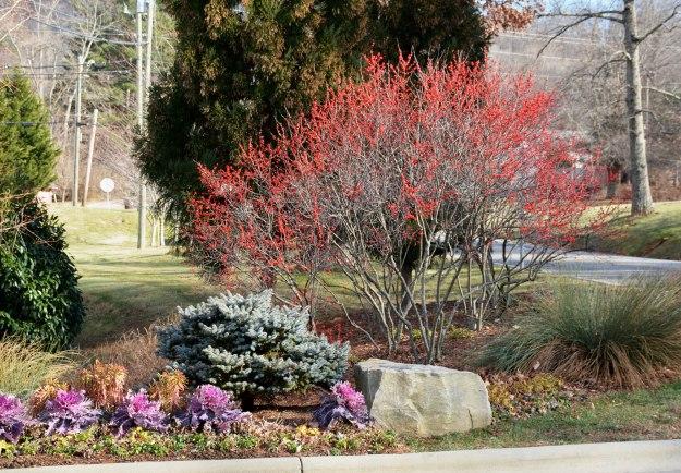 Curbside display of Ilex verticillata at BB Barnes Garden Center in Arden, NC.
