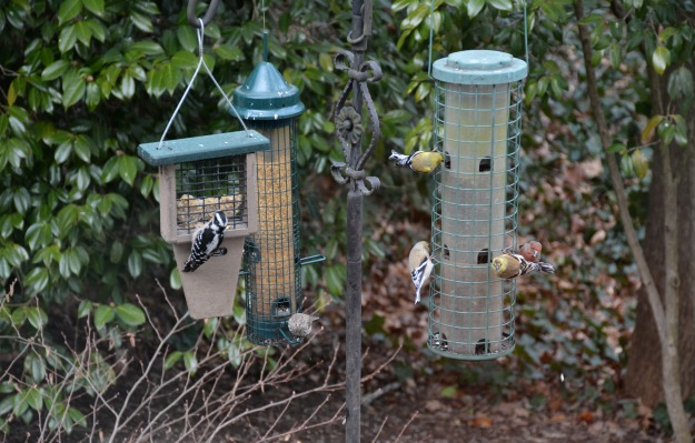 Left to right:  female Downy Woodpecker,  female House Finch,  three Goldfinches (one female and two males just beginning to show color), and a male House Finch (red face).