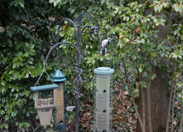 Two female Downy Woodpeckers have a spat while a Tufted Titmouse visits the safflower feeder.