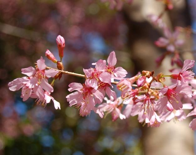 Cheerful flowers of Prunus 'Okame'