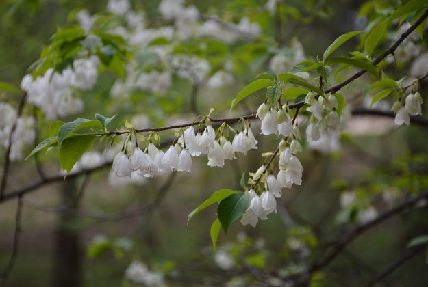 Halesia tetraptera, previously known as Halesia carolina, commonly called Carolina silverbell