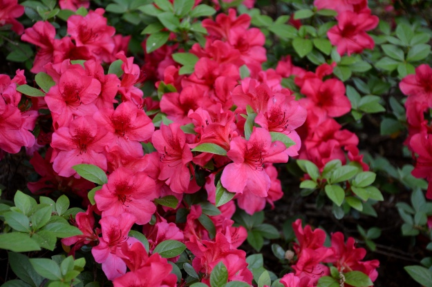 Azalea 'Girard's Fuchsia', low-growing and compact with vivid blooms.