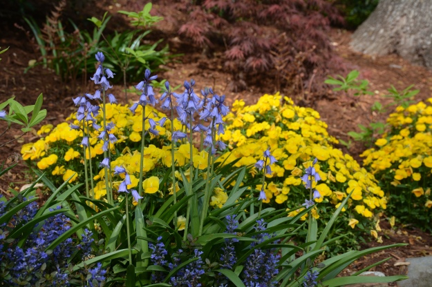 Spanish bluebells (Hyacinthoides hispanica) with Ajuga 'Chocolate Chip' and violas.