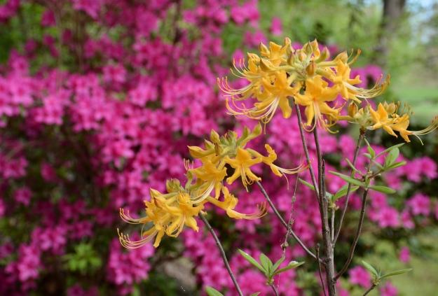 Florida flame American azalea (Rhododendron austrinum)