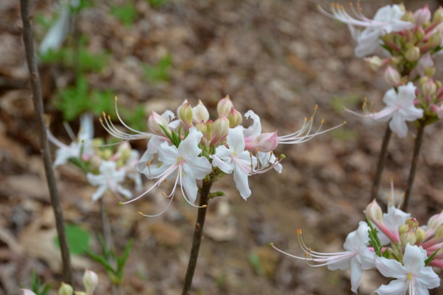Piedmont American azalea (Rhododendron canescens)