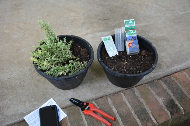Preparations for boxwood cuttings...
