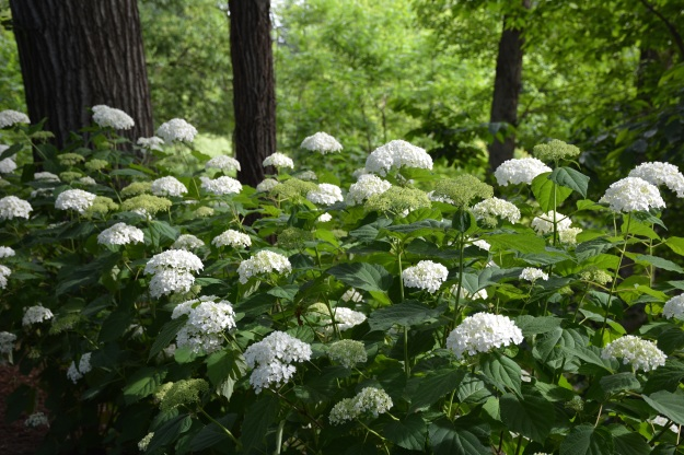 Happily, 'Incrediball' hydrangea (H. arborescens) shines on.