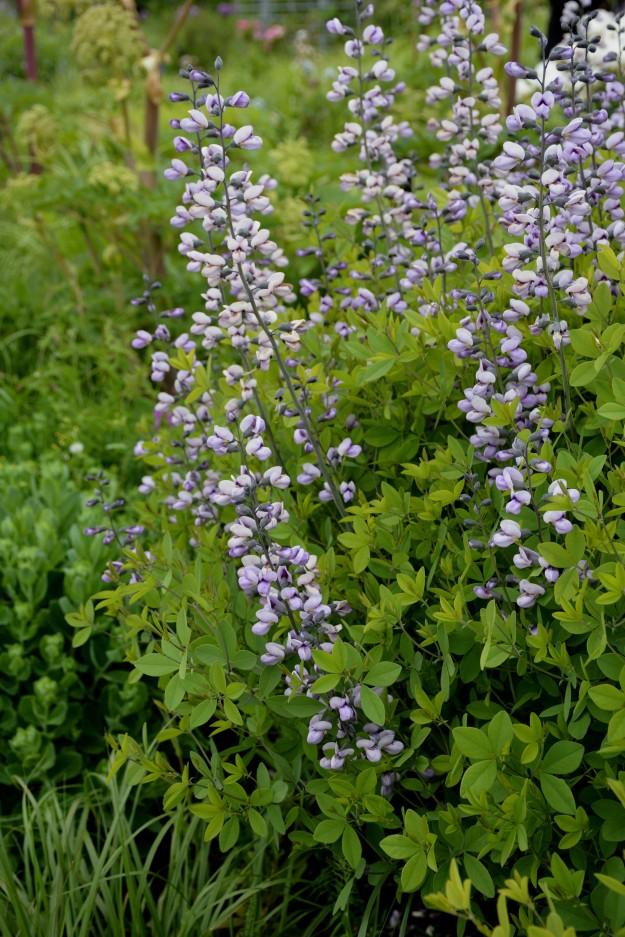 Baptisia 'Purple Smoke' (B. alba x B. australis)