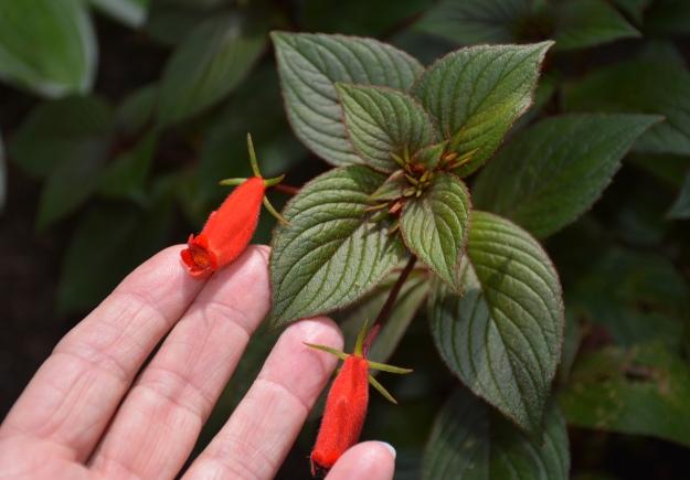Seemannia x hybrida