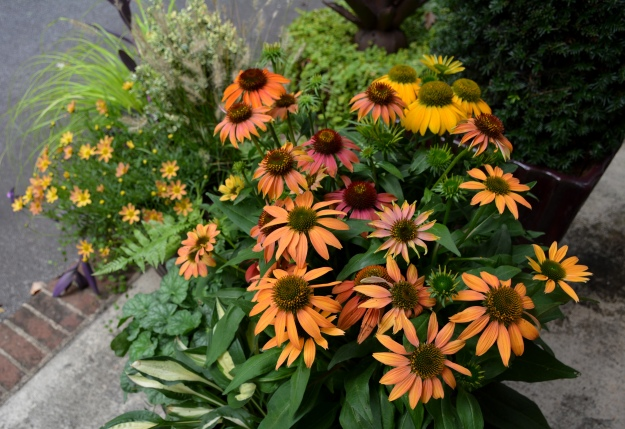 Echinacea 'Cheyenne Spirit', foreground.