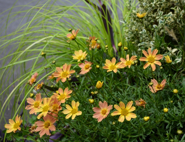 Coreopsis 'Sienna Sunset' and Carex 'Everillo'.