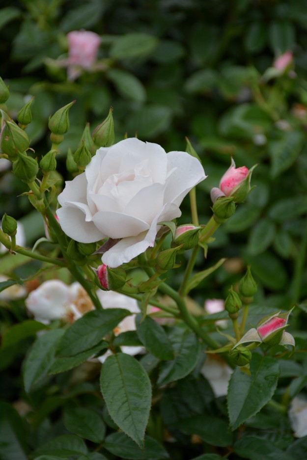 Rosa 'Pearl Drift'