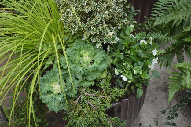 Everillo carex, creeping wire vine, variegated box, viola, ferns, trailing juniper, ornamental kale, Chocolate Chip ajuga