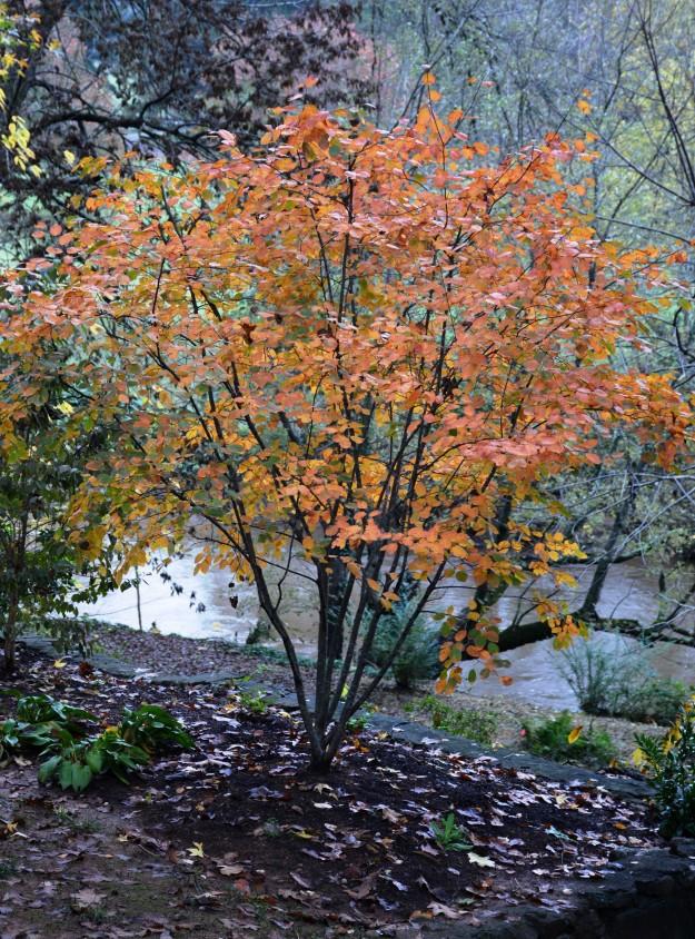 Serviceberry (Amelanchier 'Autumn Brilliance')