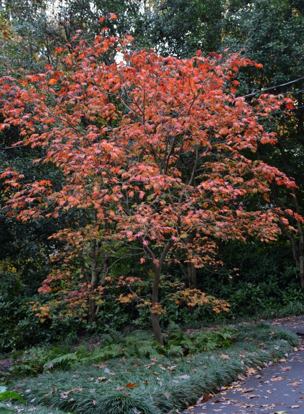 Full-moon Japanese maple (Acer japonicum 'Aconitifolium')