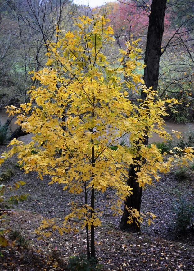 Native hickory (Carya)